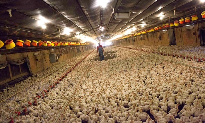 The Multitude of Problems with Factory Farming