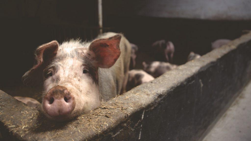 Pig in dark