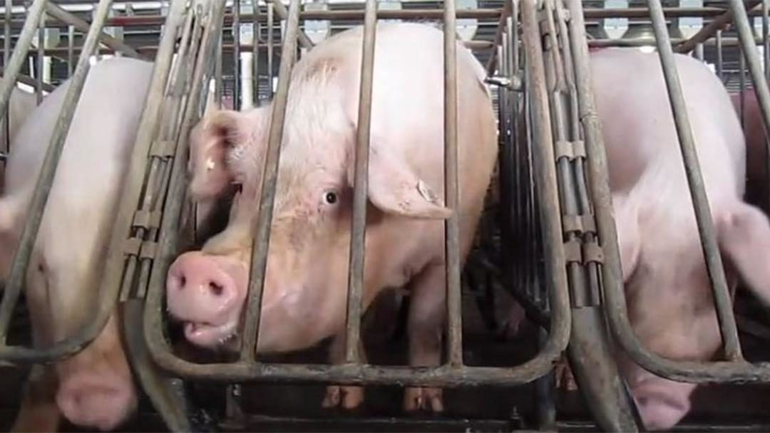 Majority of Pork-Buyers Prefer Retailers That Don't Use Gestation Crates