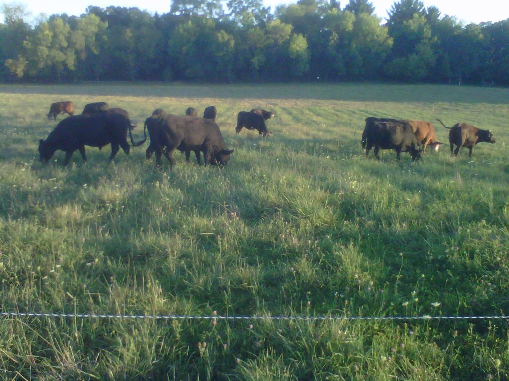 Beef Herd on Grass