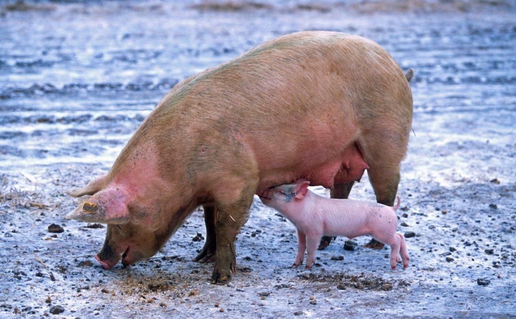 pig-sow-piglet