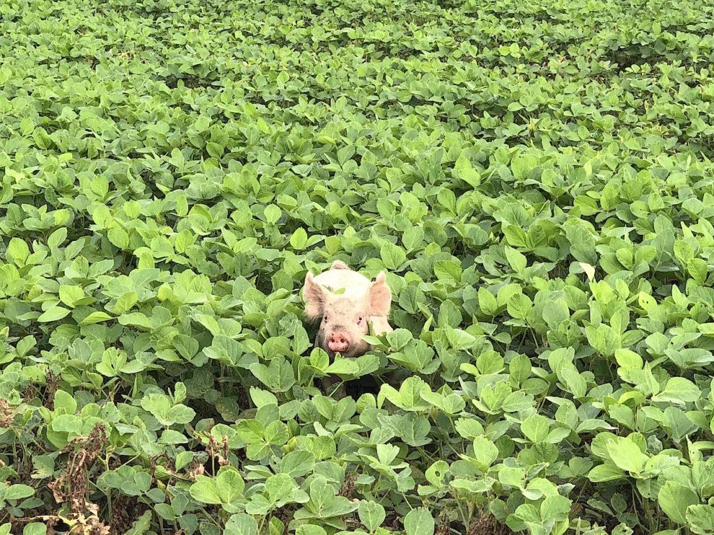 Pig in Field Locavore Farm