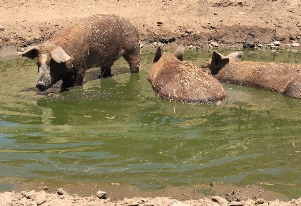 Pigs in Water Farm Sanctuary