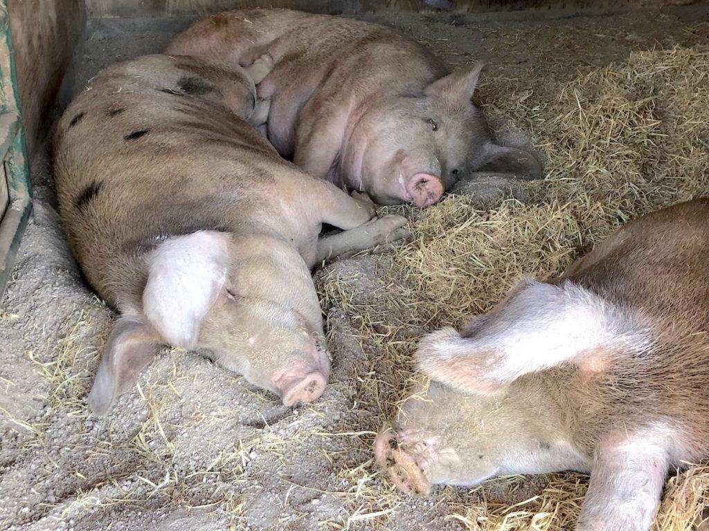 Sleeping Pigs - Farm Sanctuary