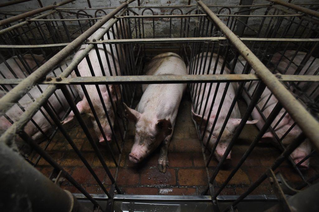 Pig farming Italy
