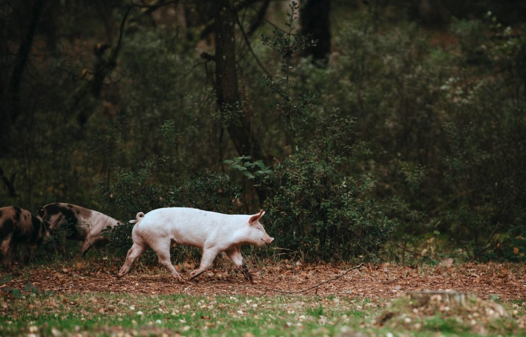 Pigs in Field