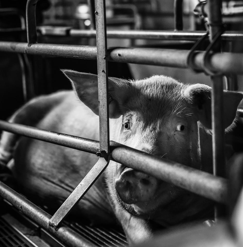 Mother Pig Gestation Crate