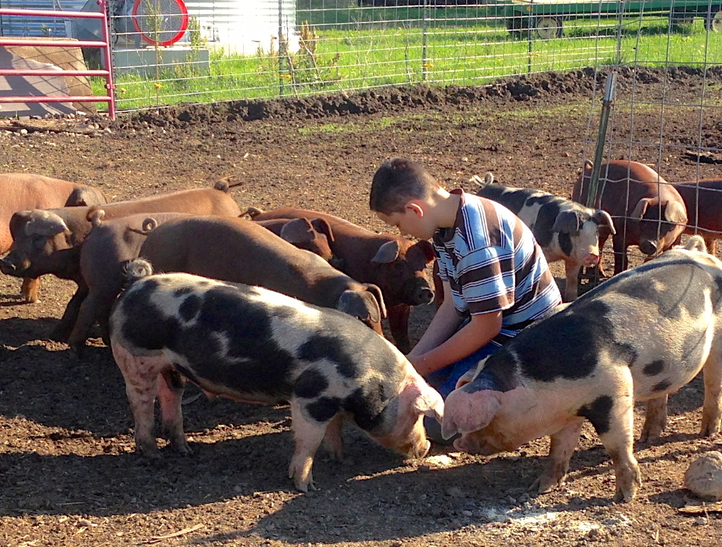 Pigs with boy