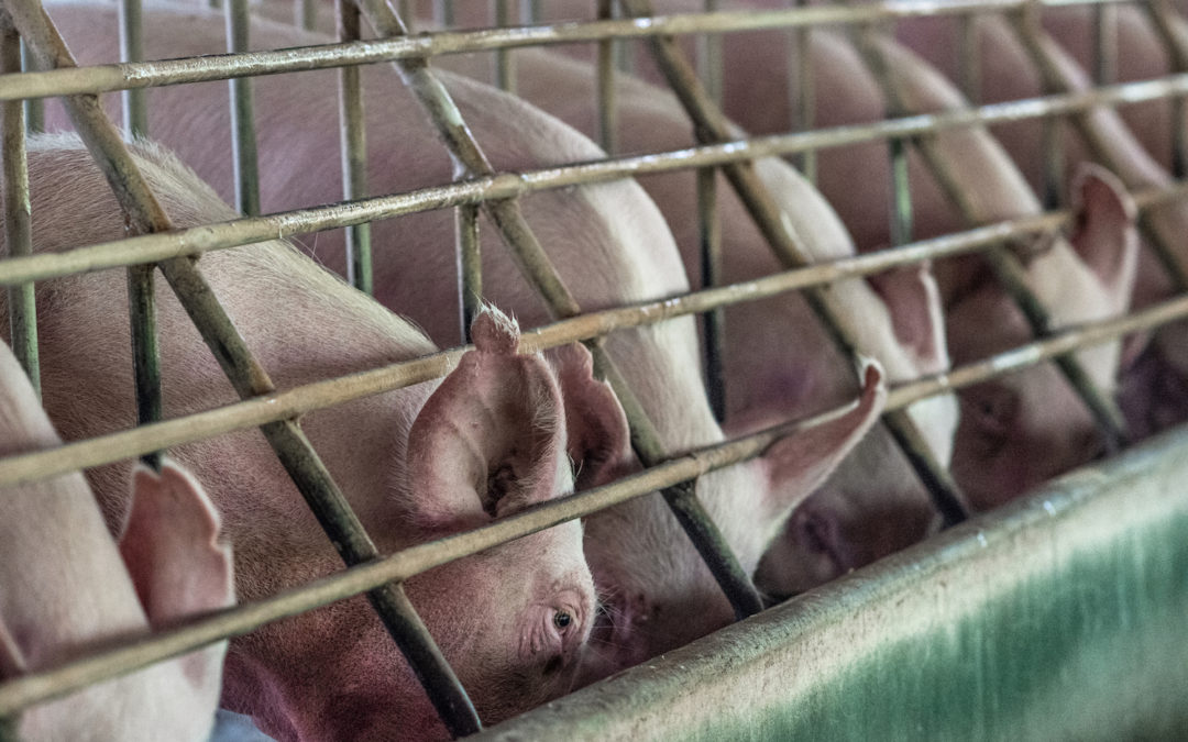 More States Continue to Ban Cruel Gestation Crates