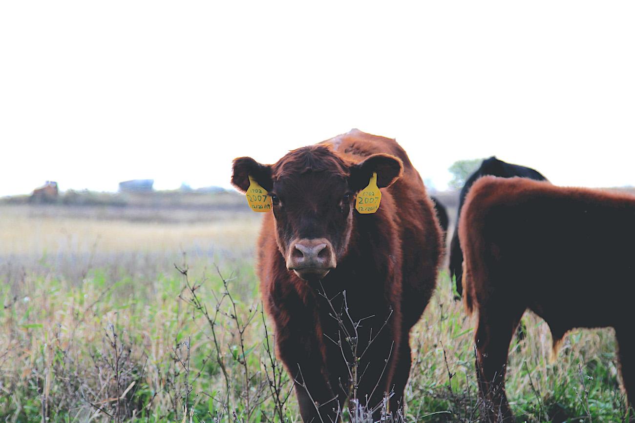 pastured cow