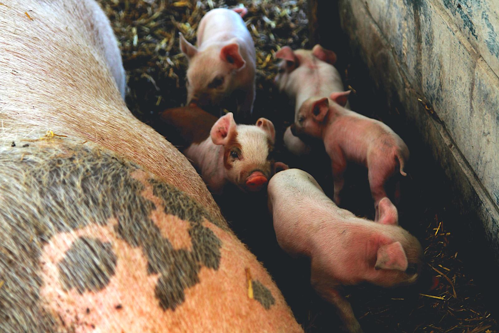 pigs at local farm